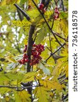 Small photo of Red ash berries on a tree in autumn.