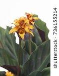 calathea crocata maravida | Shutterstock . vector #736155214