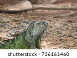Chinese Water Dragon Lying On...
