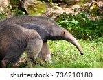 giant anteater | Shutterstock . vector #736210180