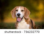 portrait of a beagle dog in... | Shutterstock . vector #736232770