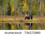 bear hidden in yellow forest.... | Shutterstock . vector #736272880