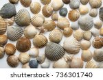 Small photo of Cockle clam shell background, cockleshell