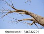 Small photo of Adansonia bao bao tree