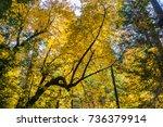Small photo of Golden Big leaf maple tree (Acer macrophyllum) foliage, Calaveras Big Trees State Park, California