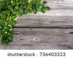 gaultheria procumbens  also... | Shutterstock . vector #736403323