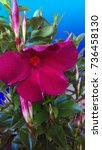 Small photo of Red Mandevilla Vine Flower
