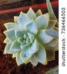 Graptoveria Succulent With...