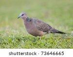 Spotted Dove  Streptopelia...