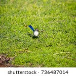 an inquisitive juvenile male ... | Shutterstock . vector #736487014