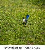 an inquisitive juvenile male ... | Shutterstock . vector #736487188