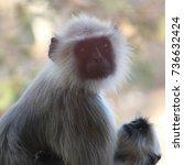 mother baboon making sure her... | Shutterstock . vector #736632424