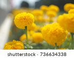 Small photo of Tagetes, the Mexican marigold, marigold , marigold, African marigold