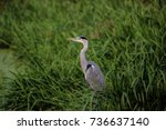 heron on river edge | Shutterstock . vector #736637140