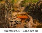 Forest Jack O' Lantern Mushroom ...