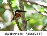 Small photo of American pygmy kingfisher. Cahuita, Costa Rica