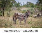 baby zebra suckling from his... | Shutterstock . vector #736705048