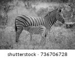 baby zebra suckling from his... | Shutterstock . vector #736706728