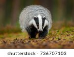 badger running in the forest ... | Shutterstock . vector #736707103