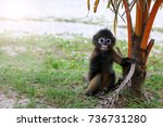 Stock photo dusky spectacled langur living in the wild the little leaf monkey on the beach in national parks 736731280