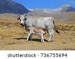 gray cow and calf suckling | Shutterstock . vector #736755694