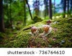 helix pomatia also roman snail  ... | Shutterstock . vector #736764610