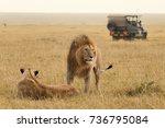 African Lion Couple And Safari...