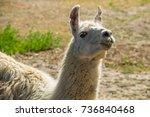Portrait Of A White Lama. Llam...