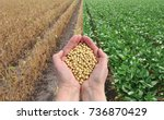 Human Hands Holding Soybean...