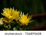 edible chrysanthemum. it is... | Shutterstock . vector #736895608