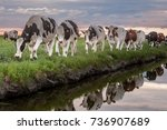 Cattle Of Cows Walking A Along...