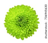 Closeup of green chrysanthemum...