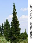 Small photo of Pine tree in Alma, Colorado in very high resilient to harsh weather and bad soils. Beautifully straight grown