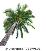 Palm coconut tree isolated on white background - stock photo