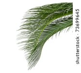 Leaves Of Sago Cycas  Isolated...