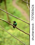 a hummingbird with green and... | Shutterstock . vector #737003626