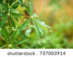 lupine leaf with drops of rain  ... | Shutterstock . vector #737003914