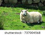 A Lamb Lying On Green Grass On...