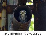 spotted owlet athene brama...   Shutterstock . vector #737016538