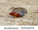 button quail blue breasted...   Shutterstock . vector #737016574