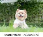 Stock photo pomeranian dog sits on the lawn 737028373
