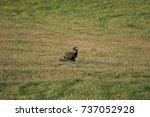 juvenile bald eagle eating prey ... | Shutterstock . vector #737052928