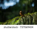 red crossbill  loxia... | Shutterstock . vector #737069404