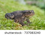 toad in thick green moss toad... | Shutterstock . vector #737083240