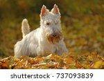 White Wheaten Scottish Terrier  ...