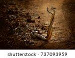 indian rat snakes  ptyas mucosa.... | Shutterstock . vector #737093959