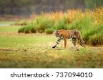 indian tiger with first rain ... | Shutterstock . vector #737094010