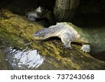 close up of alligator snapping... | Shutterstock . vector #737243068