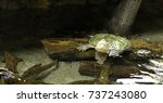 close up of alligator snapping... | Shutterstock . vector #737243080