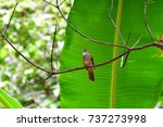 Small photo of Ochraceous Bulbul,bulbil is a cute bird in Thailand.bird infrontof the banana leaf.